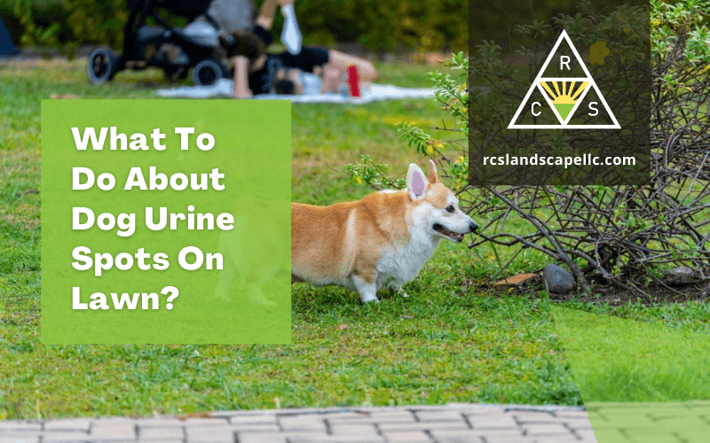 What To Do About Dog Urine Spots On Lawn?